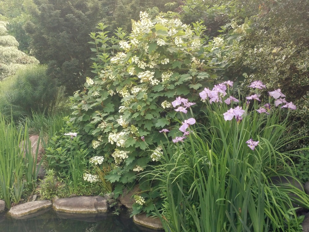 Japanese irises and Oakleaf hydrangea spill over the edges of the koi pond.