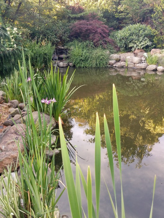 Plantings along the edges of the large koi pond have filled in nicely in recent years. Oakleaf hydrangeas that border the pond must be pruned so that Japanese irises are not crowded out.