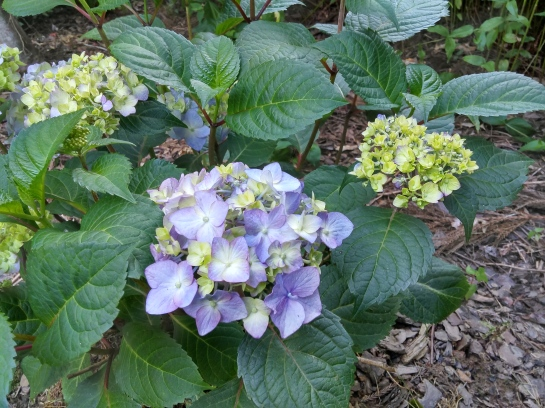Bloomstruck hydrangea was damaged along with other mopheads, but it revived and set flower buds more quickly than others.