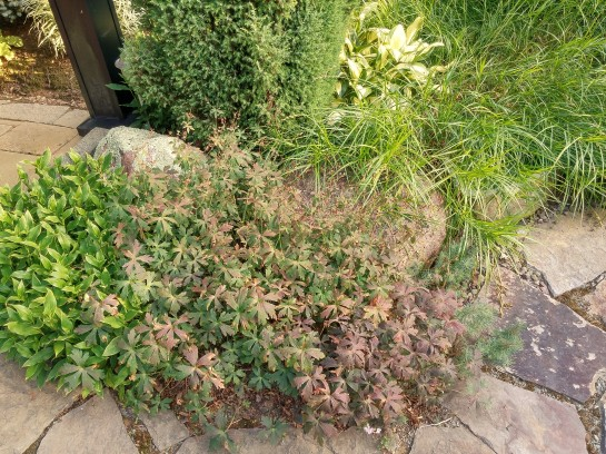 Geraniums and toad lily fill open spaces to keep weeds down beside this stone aptio.