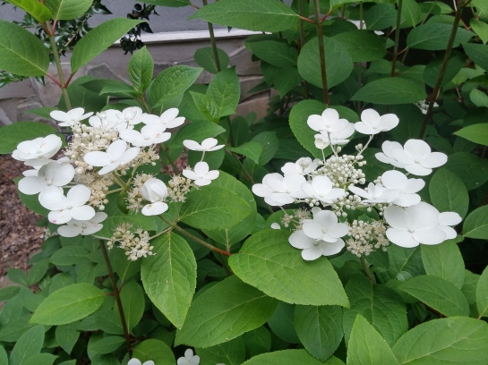 This early flowering panicled hydrangea, probably Quick Fire, was not damaged in the freeze. This shrub is too shaded, and even though it does not grow with vigor it flowers acceptably.
