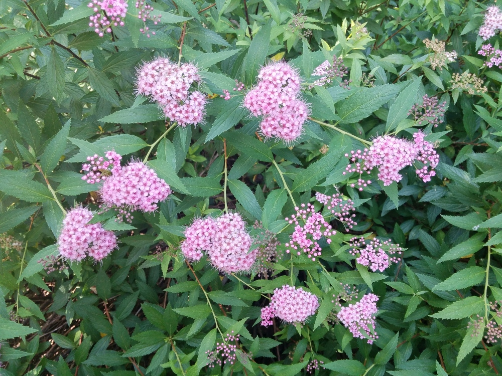 Little Princess spirea is a pleasant shrub to fill spaces.