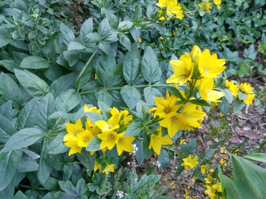 This once variegated loosestrife has reverted to green. Beneath a dogwood and wide spreading Japanese maple it receives little sunlight, which limits it aggressive growth.
