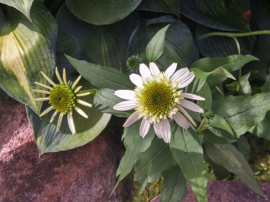 While other coneflowers faded with less than ideal sunlight, Coconut Lime returns dependably despite being shade by a low branched evergreen.
