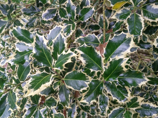 Growth of the variegated English holly is slowed by heat and humidity in this Virginia garden. A pollinated female would be preferred, but the foliage alone is reason enough to plant this fine evergreen.