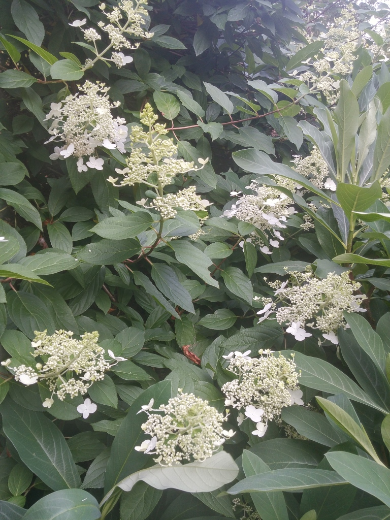 While Tardiva hydrangea is not as floriferous as newer panicled hydrangea introductions, it is sturdy and dependable through freeze and summer drought.
