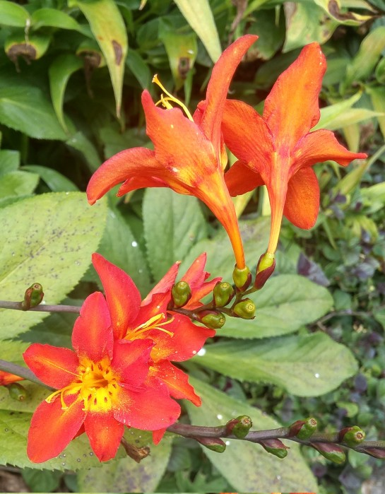 One of the assorted crocosmias flowers in early August.