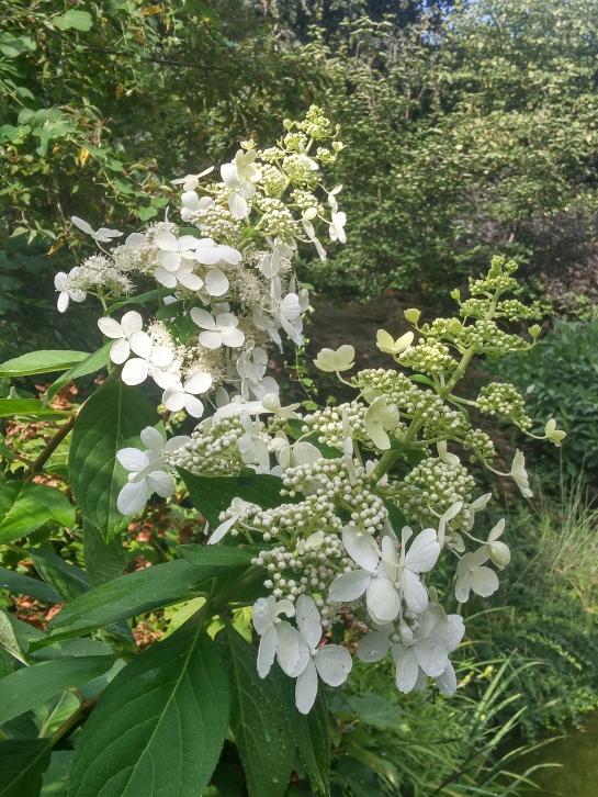 Panicled hydrangea seedling