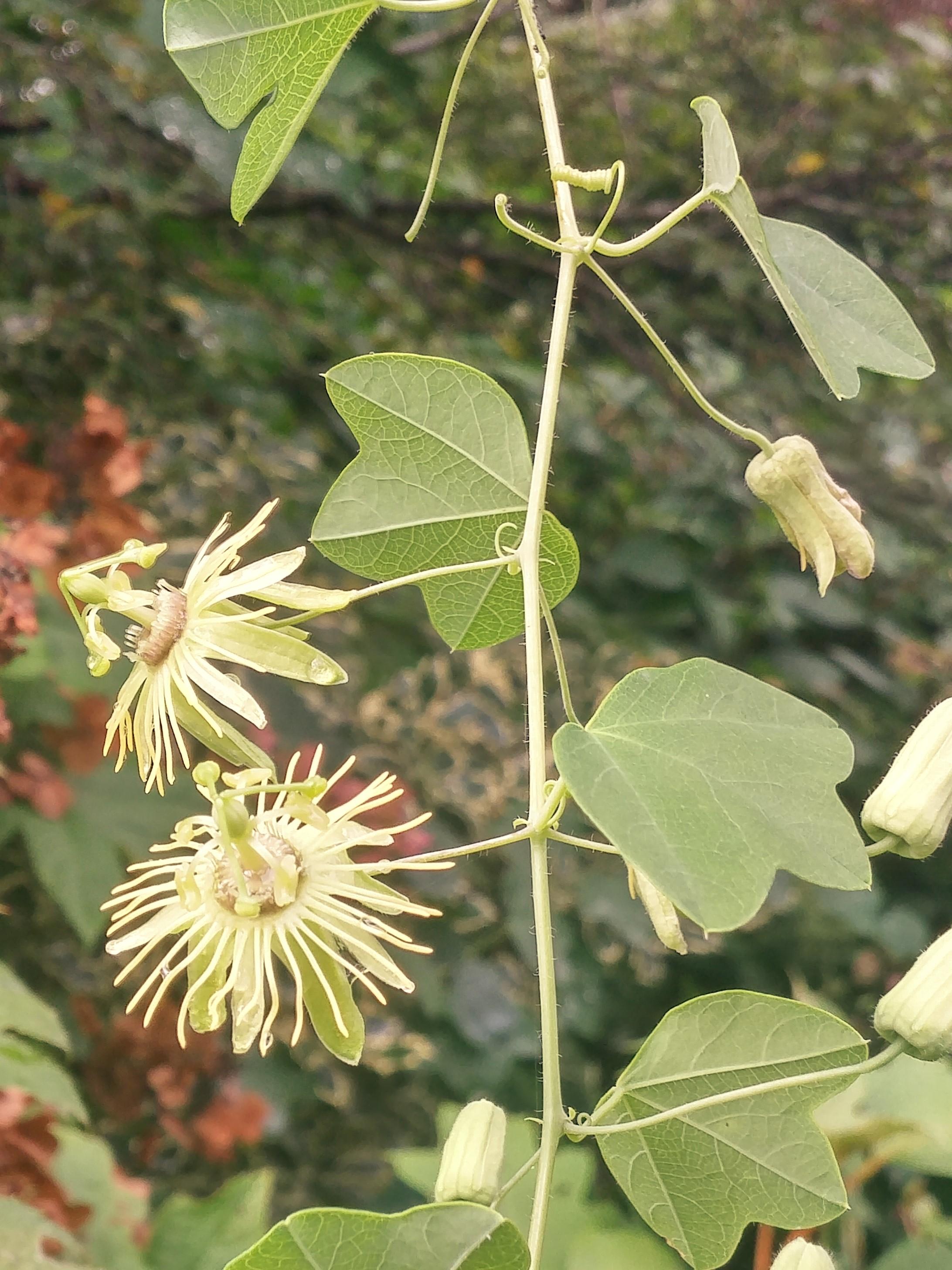 Yellow Passionflower Ramblin Through Daves Garden