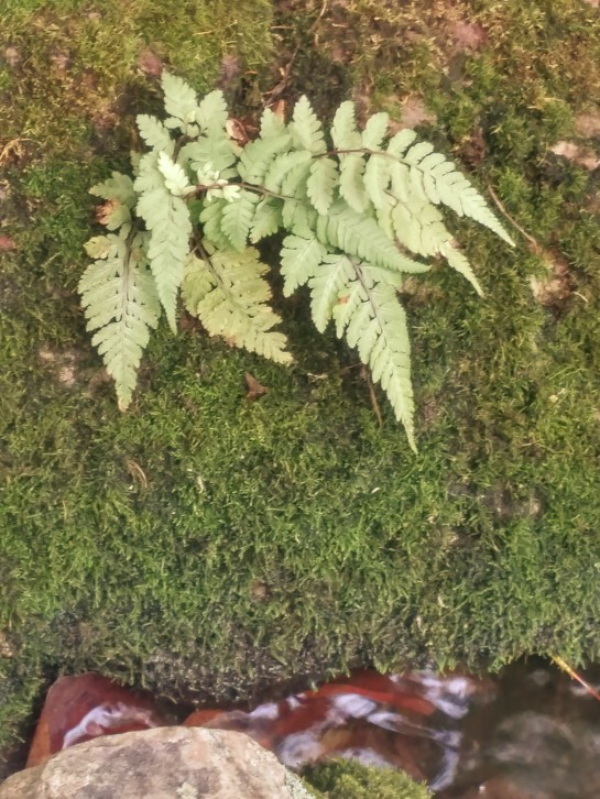 Painted fern growing in a mossy rock at the pond's edge.