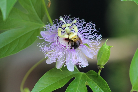 The purple passionflower vine continues to grow and new flower buds appear daily.
