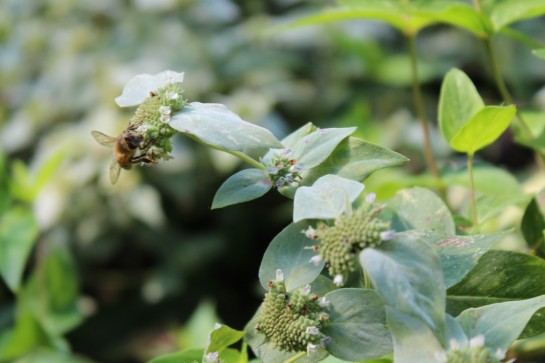 Mountain mint will continue in bloom through September.