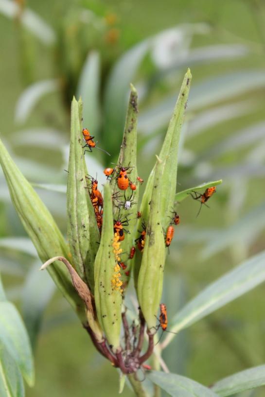 Aphids on milkweed