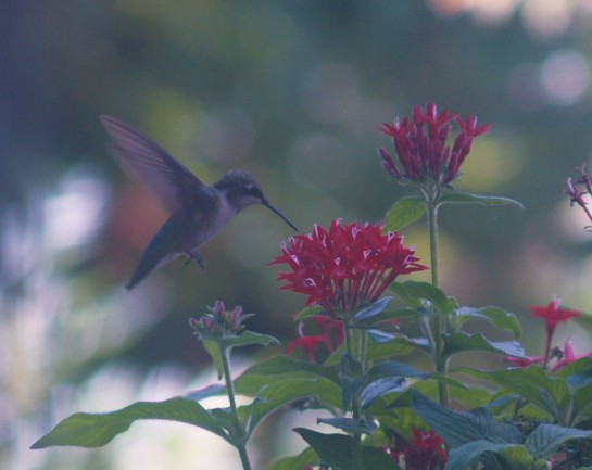 Nectar is continuously produced by pentas through the summer so that hummingbirds visit several times each day.