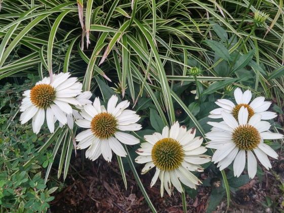 Echinacea beside Evergold carex