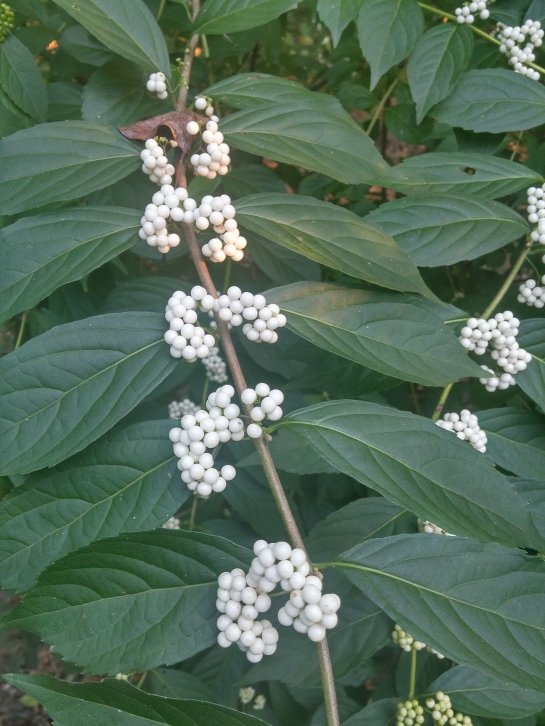 Sprawling shrubs such as this white berried Beautyberry shade damp ground that would be covered with weeds.