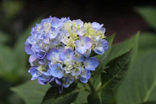 In early September, this mophead hydrangea is setting buds and flowering.