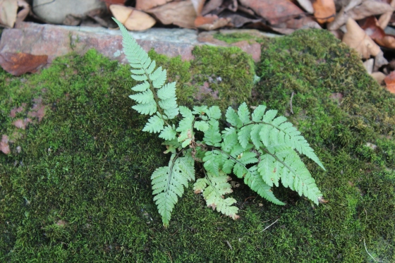 Painted fern sporeling