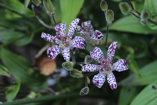 Toad lilies and other perennials are tucked between shrubs , minimizing maintenance and adding flowers in late summer and early autumn.