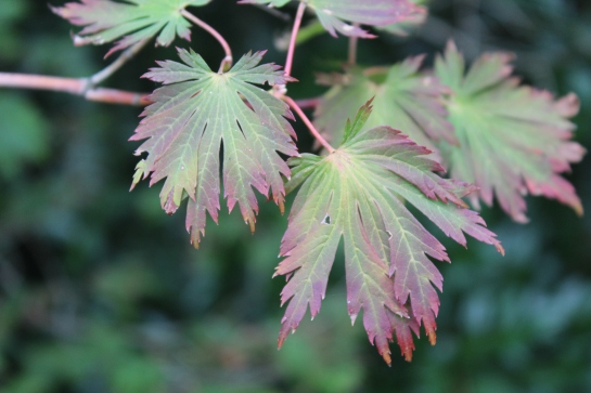 Foliage of the Fernleaf Japanese maple is more sparse than usual, but the tree is healthy and leaves are beginning to turn to autumn colors.