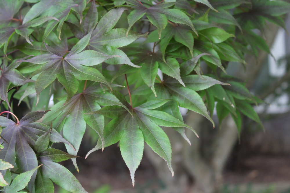 Leaves of the Bloodgood Japanese maple have faded in summer's heat, but the tree has recovered from the early spring freeze.