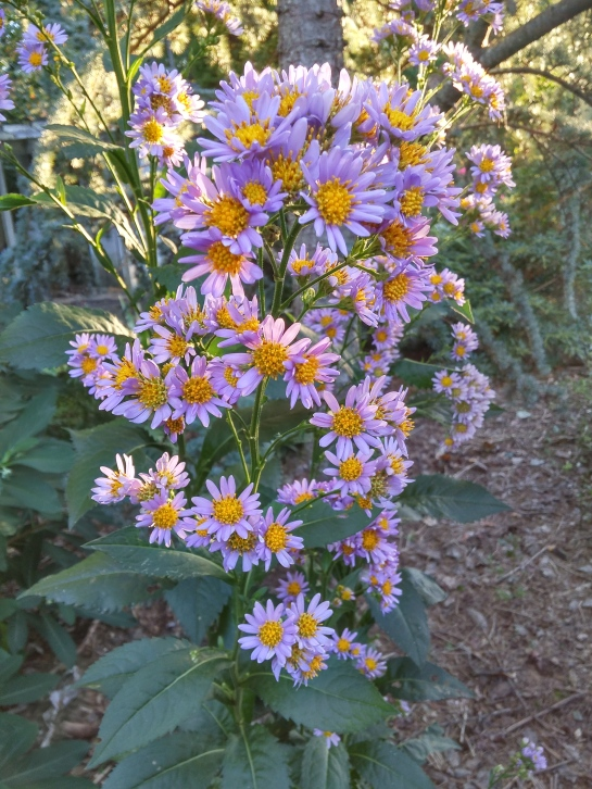 The tall, coarse Jindai aster is a transplant from the far side of the koi pond where the initial planting was overwhelmed by wide spreading hydrangeas.