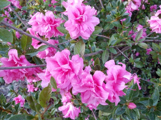 A year ago flowering of Encore azaleas was halted by an early freeze, but several continue at peak bloom.
