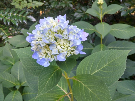 Mophead hydrangeas in part sun continue to bud. There will be flowers until the first killing frost.