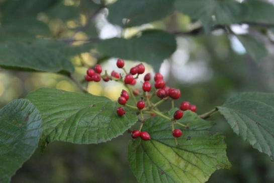 Arrowwood viburnum (Viburnum dentatum) at the forest's edge.