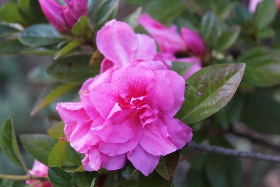 Encore Carnation has been the star bloomer of azaleas this November. While the bubblegum pink color is hardly a favorite, heavy flowering since mid September is appreciated.