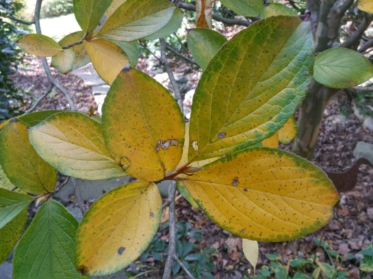 Stewartia in early November.