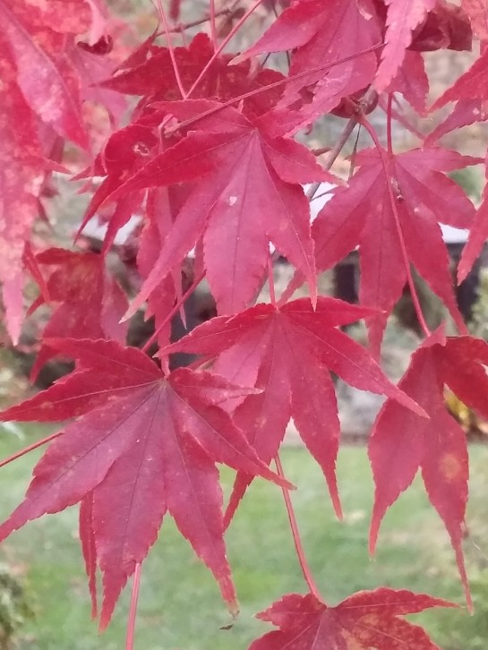 Oridono Nishiki Japanese maple in November. Spring through summer the leaves are green with occasional splashes of cream or pink. Many years, leaves drop without significant color change, but this year the leaves have turned while other maples have not.