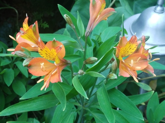 'Tangerine Tango' Peruvian lily (Alstroemeria) will melt in the first freeze, but with warm temperatures in early November it will continue blooming.