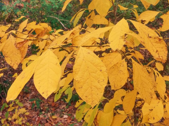 Spicebush (Lindera benzoin) at the forest's edge in early November.