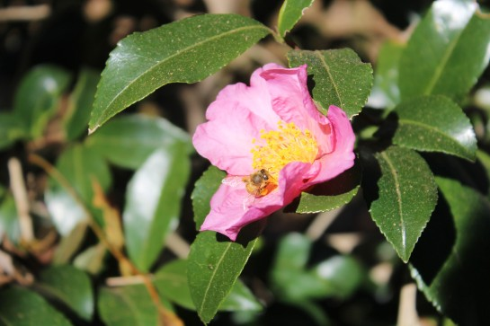 A bee finds this flower of 'Winter's Star' camellia on this sunny afternoon following the freeze.