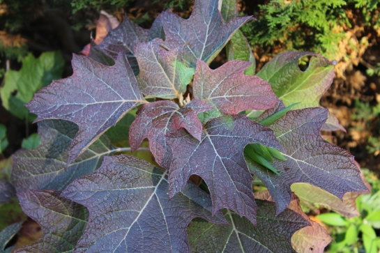To my thinking, the roughly corrugated leaves of Oakleaf hydrangea should not be appetizing to deer, especially as they turn in autumn. Wrong again.