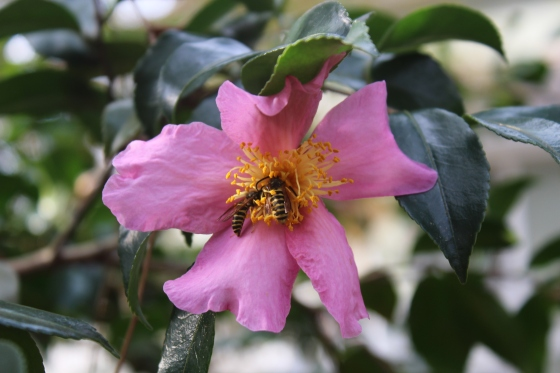 On a warm November, bees find flowers of this Winter's Star camellia as a cold front moves in.