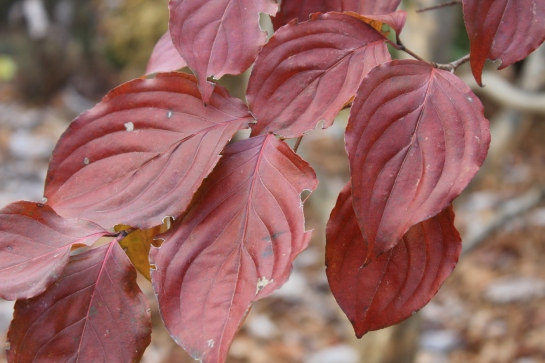 Leaves of Satomi dogwood color late in the season and persist after the native dogwoods have shed.