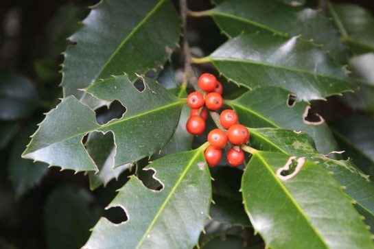 This Koehneana holly borders the driveway, so it receives enough sunlight to berry dependably. There are fewer berries this year due to the April freeze. Leaf damage seen in this photo will not result in long term damage.