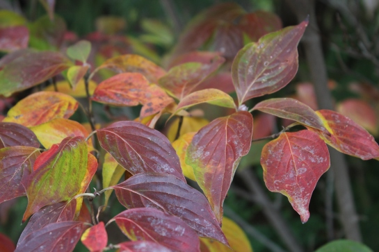 Leaves of Celestial Shadow dogwood persist long into the autumn, coloring late with burgundy outer leaves and mottled colors of burgundy and yellow on inner foliage.