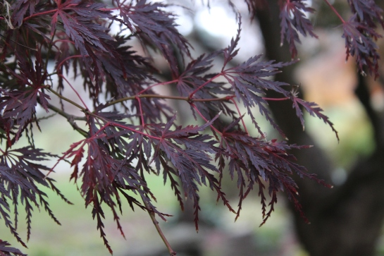 Leaves of Seriyu Japanese maple turn from green to burgundy in mid autumn, after many maples have gone bare.