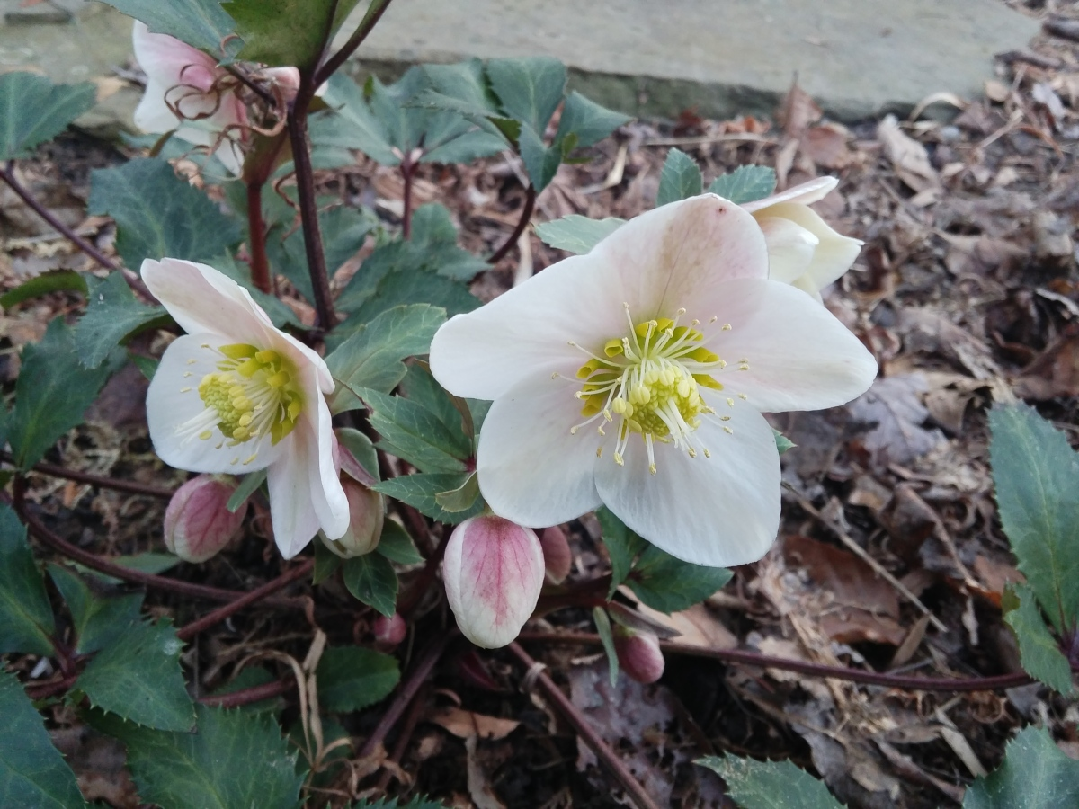One of several hellebores beginning to flower the third week of January.