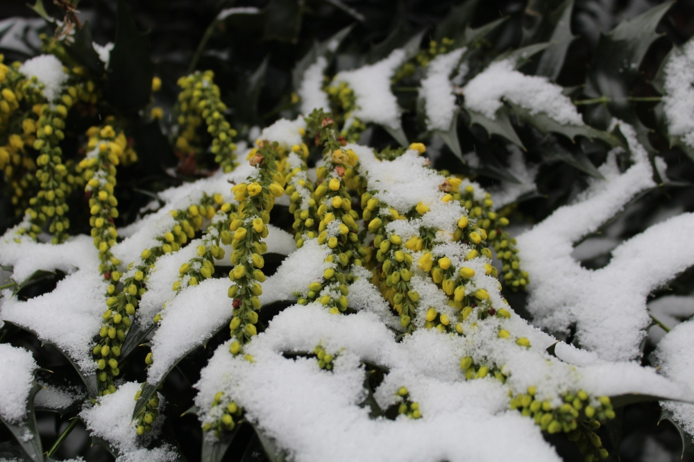 Winter Sun mahonia flowering under a cover of light snow in early January.