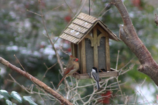 Cardinal and chickadee