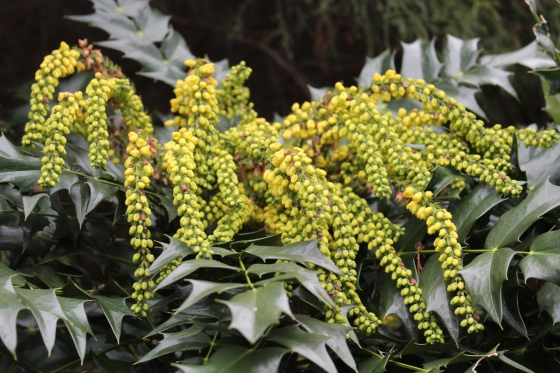 Winter Sun mahonia flowering in mid January.