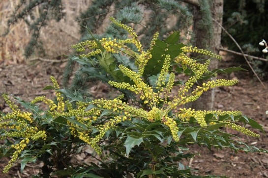 Charity mahonia in mid January.