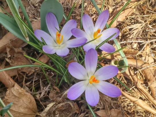 Crocus began flowering the third week of February.