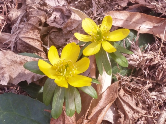 A few scattered Winter aconites flower in late February.