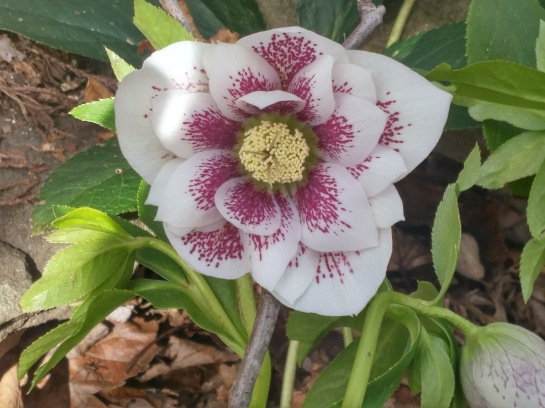 many hellebores began flowering in late January, which is only slightly early in this garden.