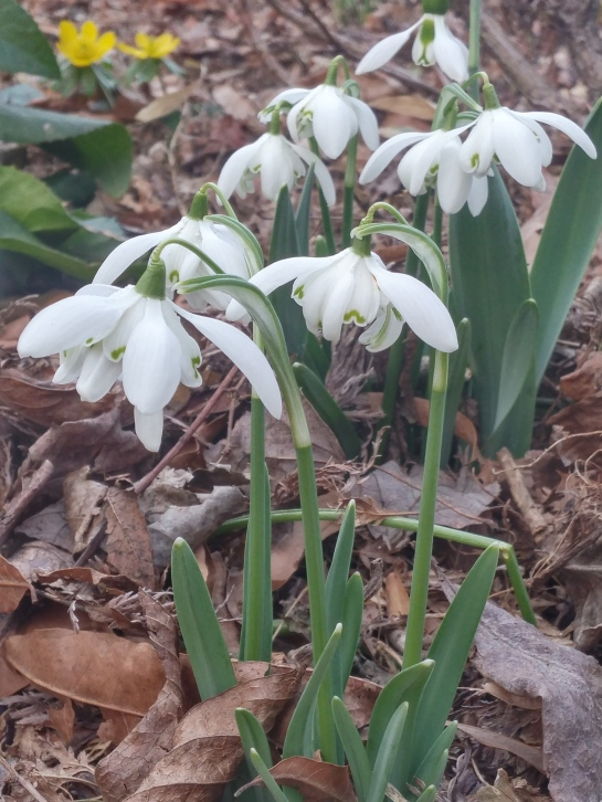 This double flowered snowdrop began flowering in mid February, while others started in January.